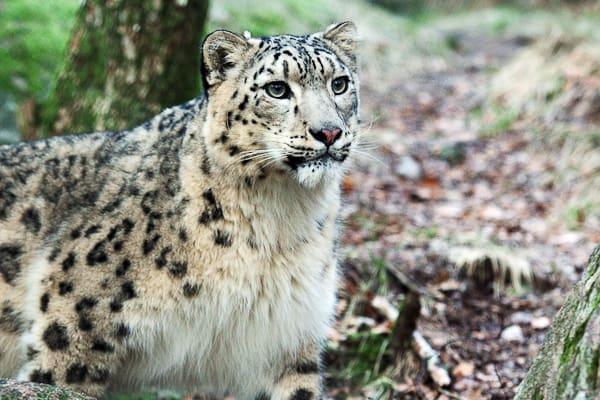 Bild på ett stort kattdjur tagen från Nordens ark.